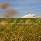 img_9580-l'etna vista da un campo di frumento nei pressi della piana di catania