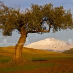 img_9608-l'etna in un campo di ulivi nella piana di catania